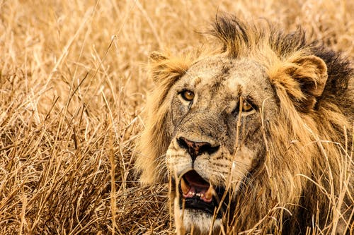 Male Lion on Brown Fields