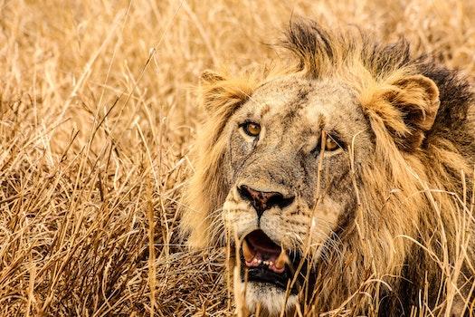 Male Lion on Brown Fields