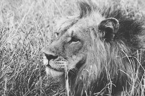 Grayscale of Male Lion on Grass