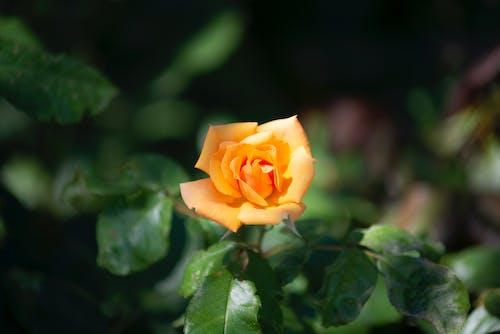 Orange Rose in Bloom