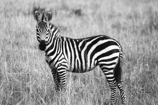 Zebra on Grassland Grayscale Photography