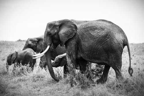 Grayscale Photo of Four Elephants