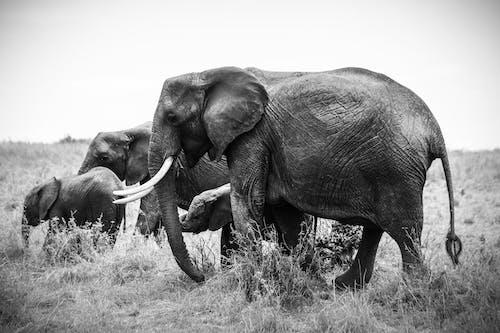 คลังภาพถ่ายฟรี ของ การถ่ายรูป, การผจญภัย, ขาวดำ, งวงช้าง