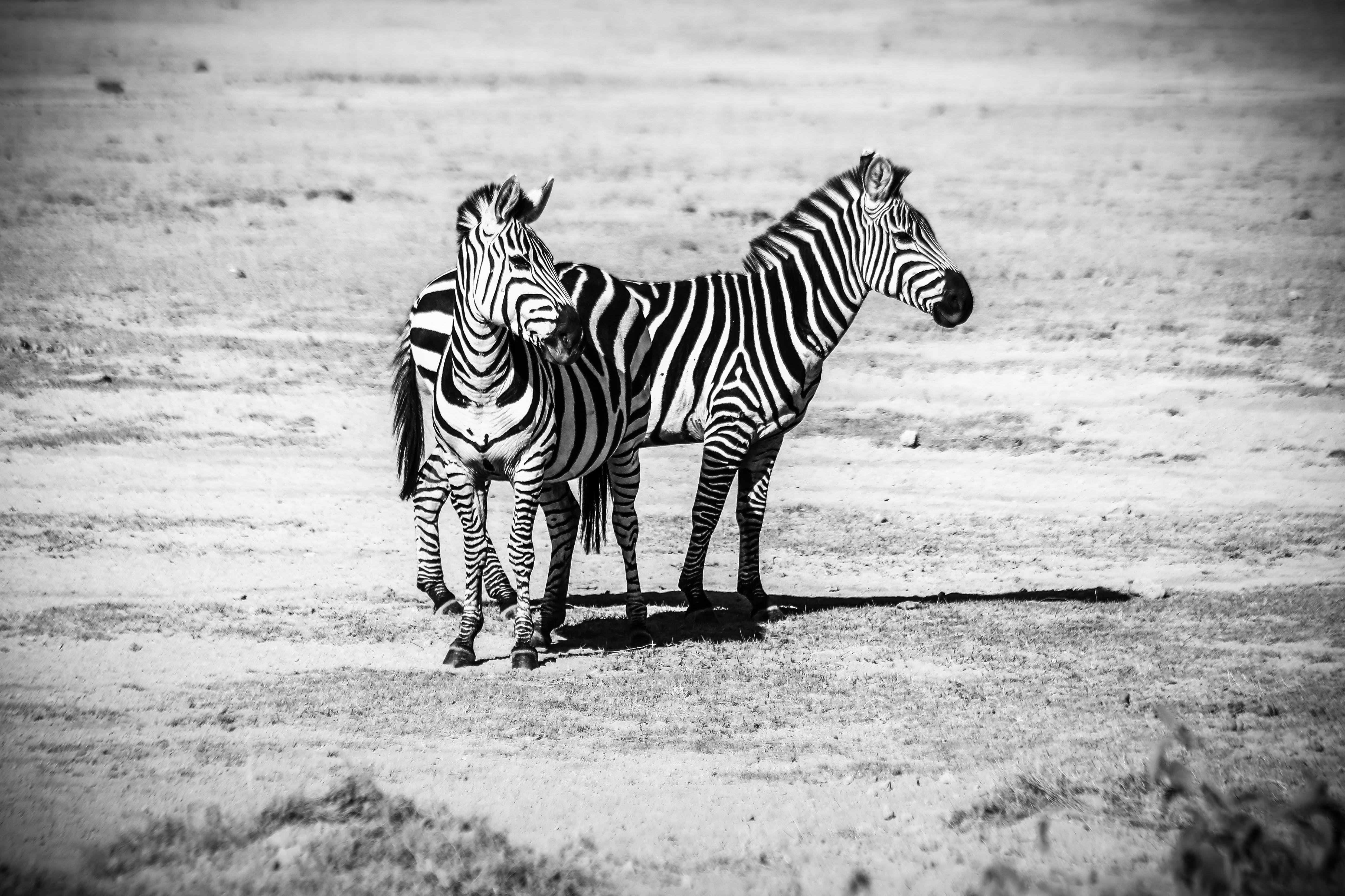 Two Zebras Standing