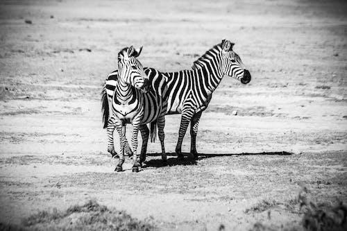 Δωρεάν στοκ φωτογραφιών με άγρια φύση, άγριος, ασπρόμαυρο, γήπεδο