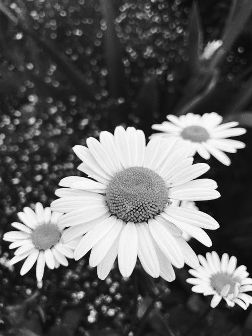 Grayscale Photo of Daisies in Bloom