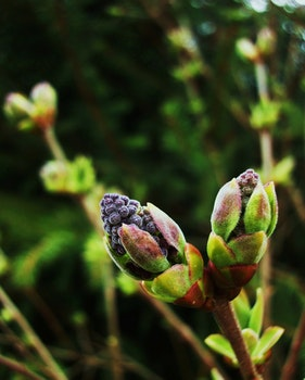 Free stock photo of bush, lilac, twig, buds