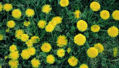 Gratis lagerfoto af græs, gul, Mælkebøtte, mørkegrøn