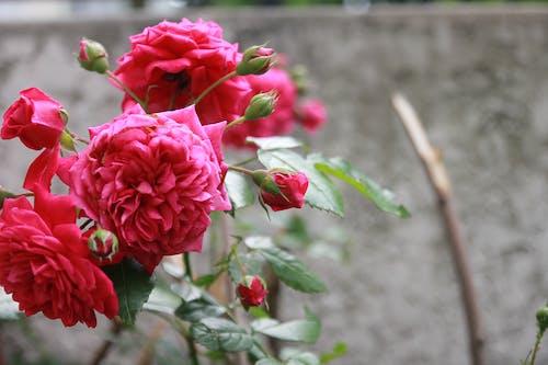 Gratis lagerfoto af lyserøde roser, sommer