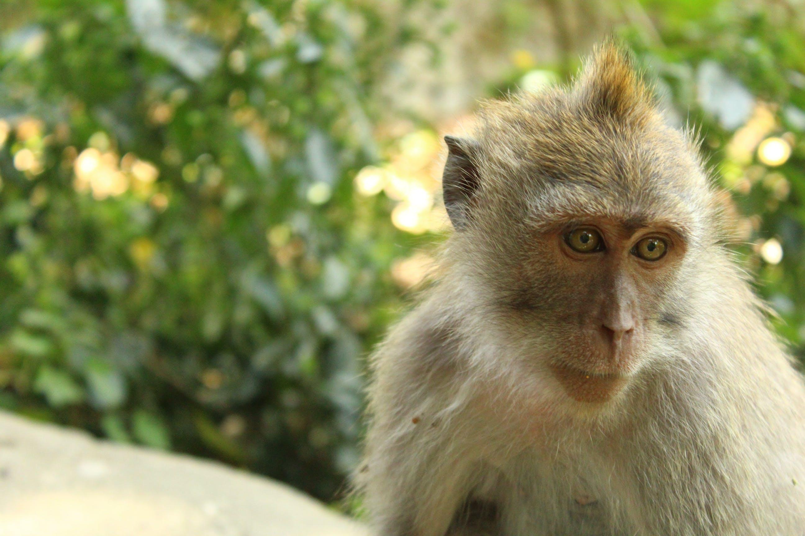 Free stock photo of animal, indonesia, monkey, ubud