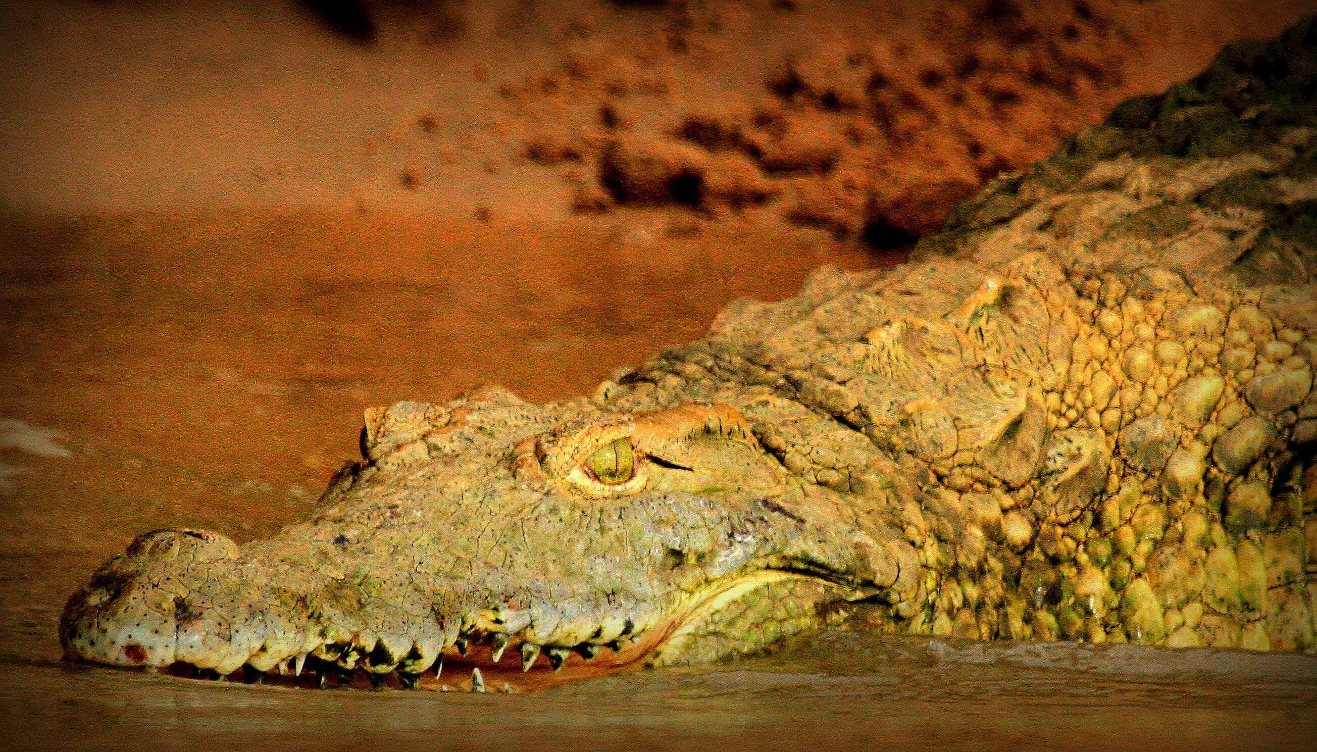 Kostenloses Stock Foto zu krokodil, krokodil auge, krokodil nahaufnahme, safari