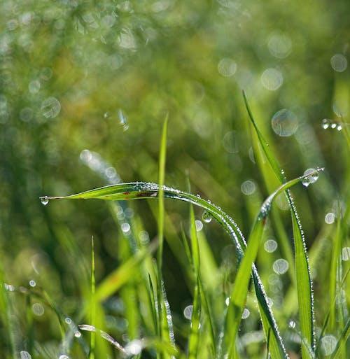 Fotobanka sbezplatnými fotkami na tému iskriť, jarné obdobie, kvapky rosy, lopatky trávy