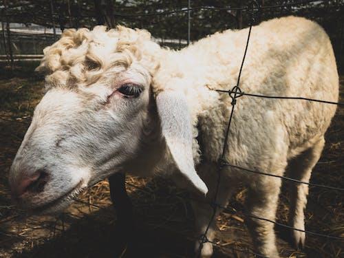 คลังภาพถ่ายฟรี ของ การเลี้ยงสัตว์, นา, สัตว์, สัตว์เลี้ยงในฟาร์ม