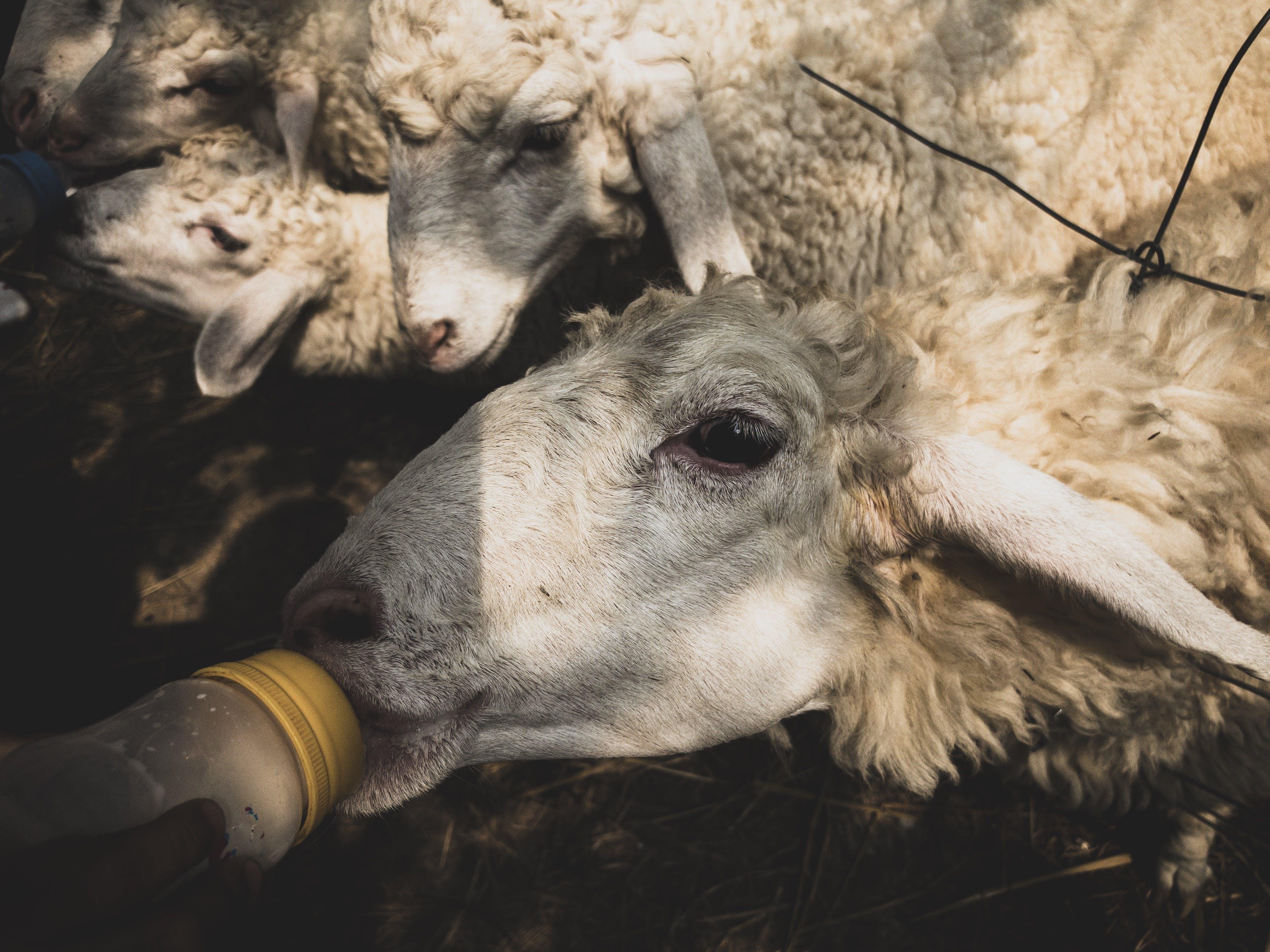 Free stock photo of animal, animal farming, farm, farm animal