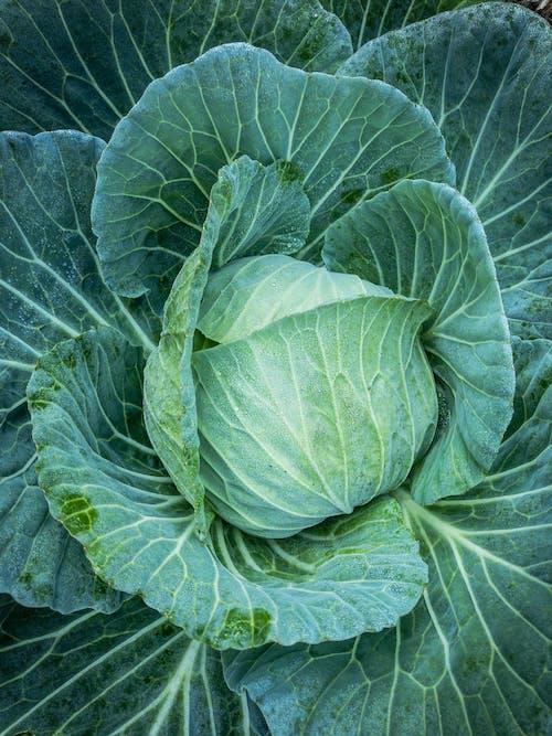 คลังภาพถ่ายฟรี ของ กะหล่ำปลี, ผัก, ผักสด, พืชสวน