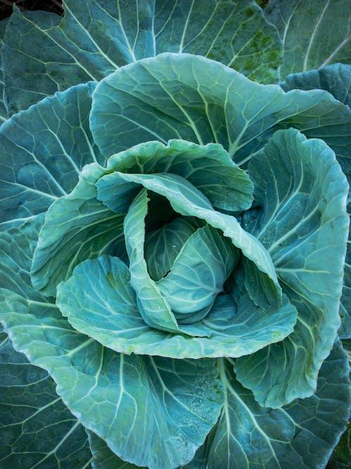คลังภาพถ่ายฟรี ของ กะหล่ำปลี, ผัก, ผักสด, สวน