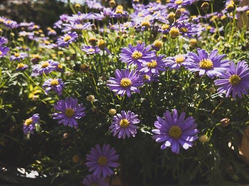 คลังภาพถ่ายฟรี ของ ดอกไม้, ดอกไม้สีม่วง, สวน, สวนดอกไม้