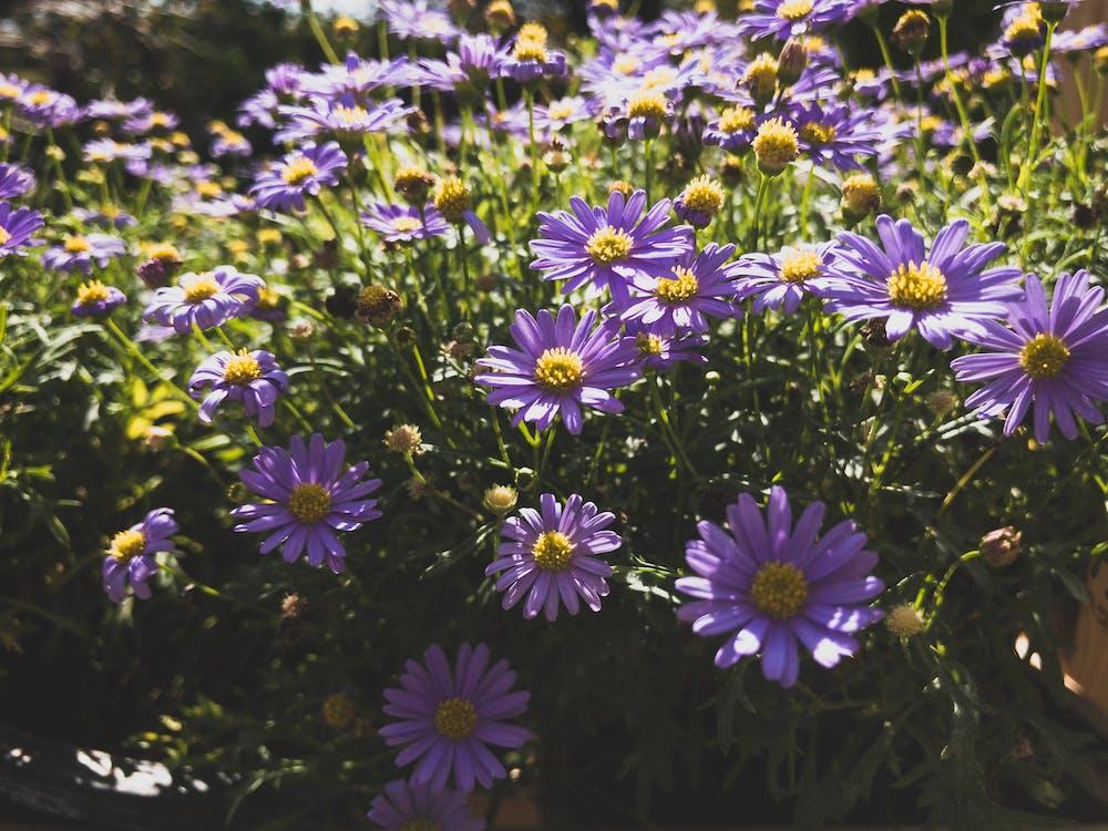 ดอกไม้, ดอกไม้สีม่วง, สวน