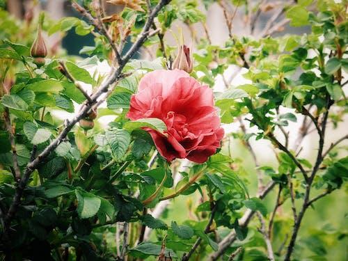 Gratis arkivbilde med blomsterblad, blomstre, blomstret