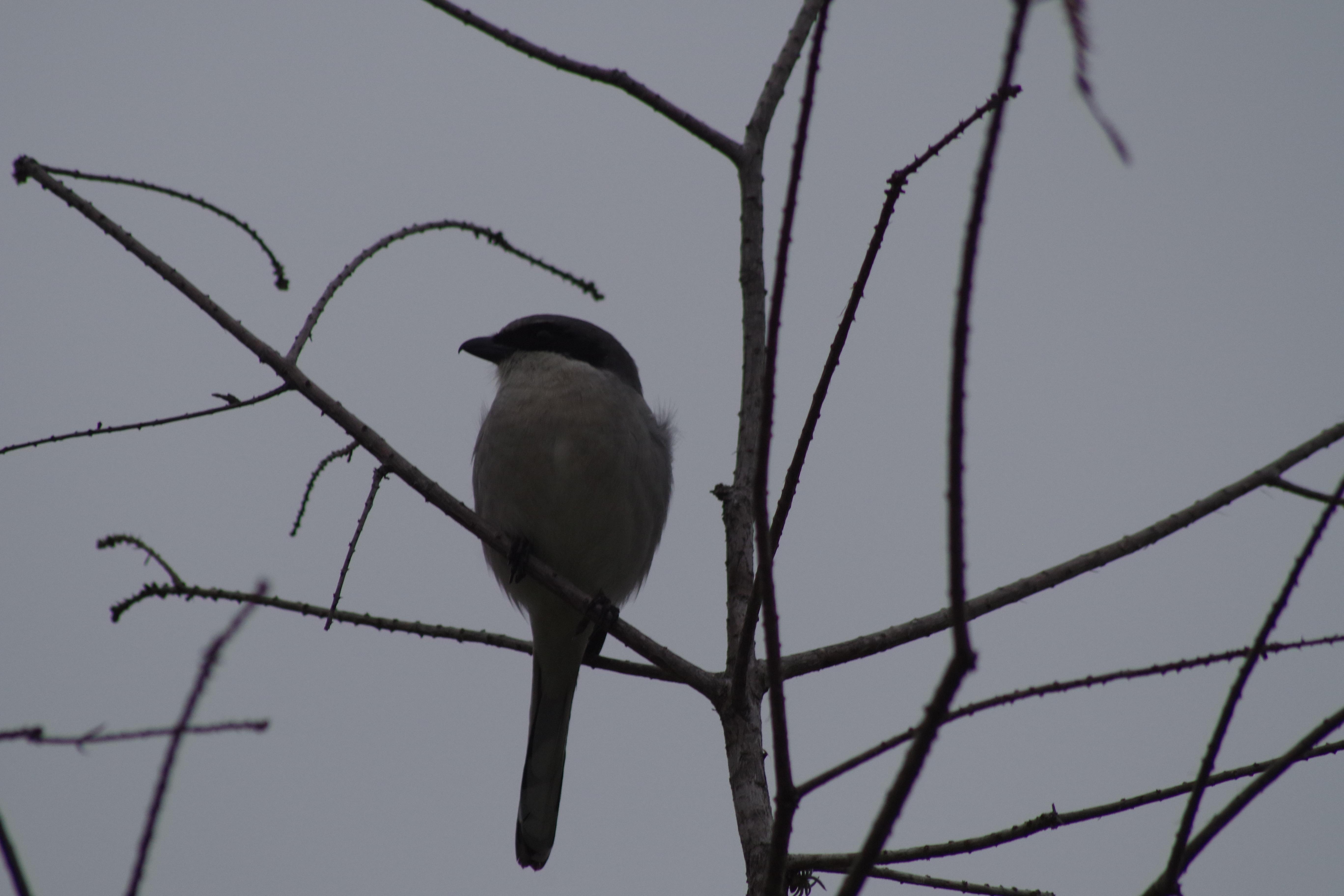 Μεγάλο μαύρο πουλί x βίντεο