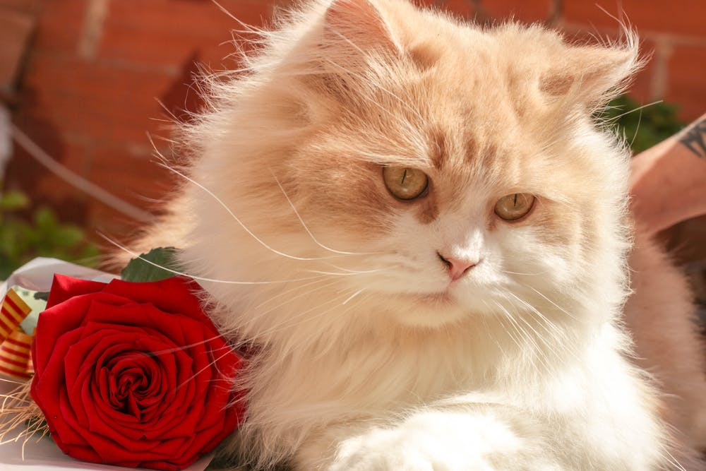 White and Beige Persian Cat Beside Red Rose