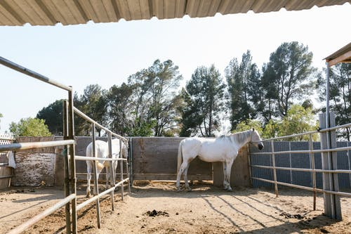 Two White Horses Inside the Ranch