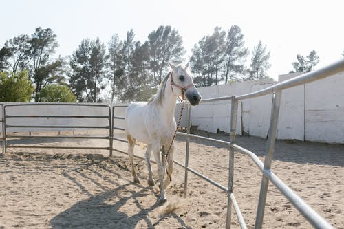 A White Horse Inside the Ranch
