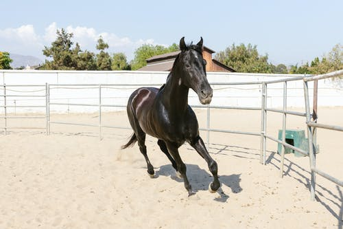 A Black Horse Galloping Inside the Ranch