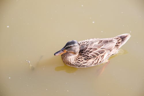 Close-Up Photo of a Brown Duck on Water