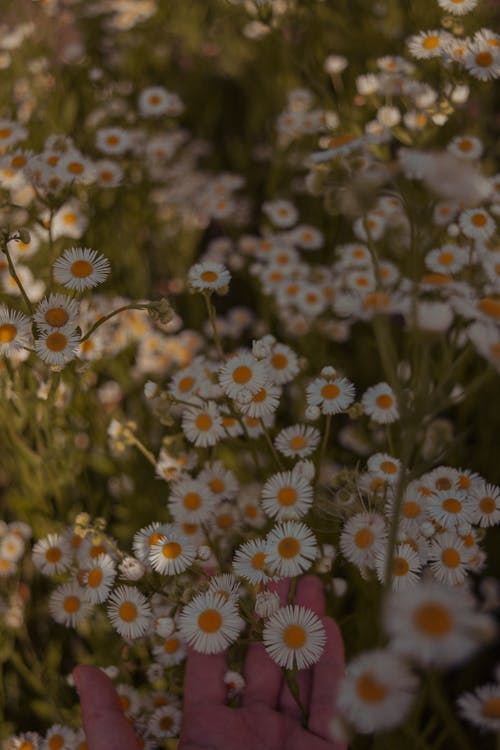 Close-Up Photo of Blooming Chamomile Flowers