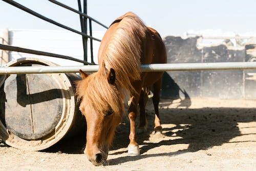 Kostnadsfri bild av brun häst, däggdjur, djur