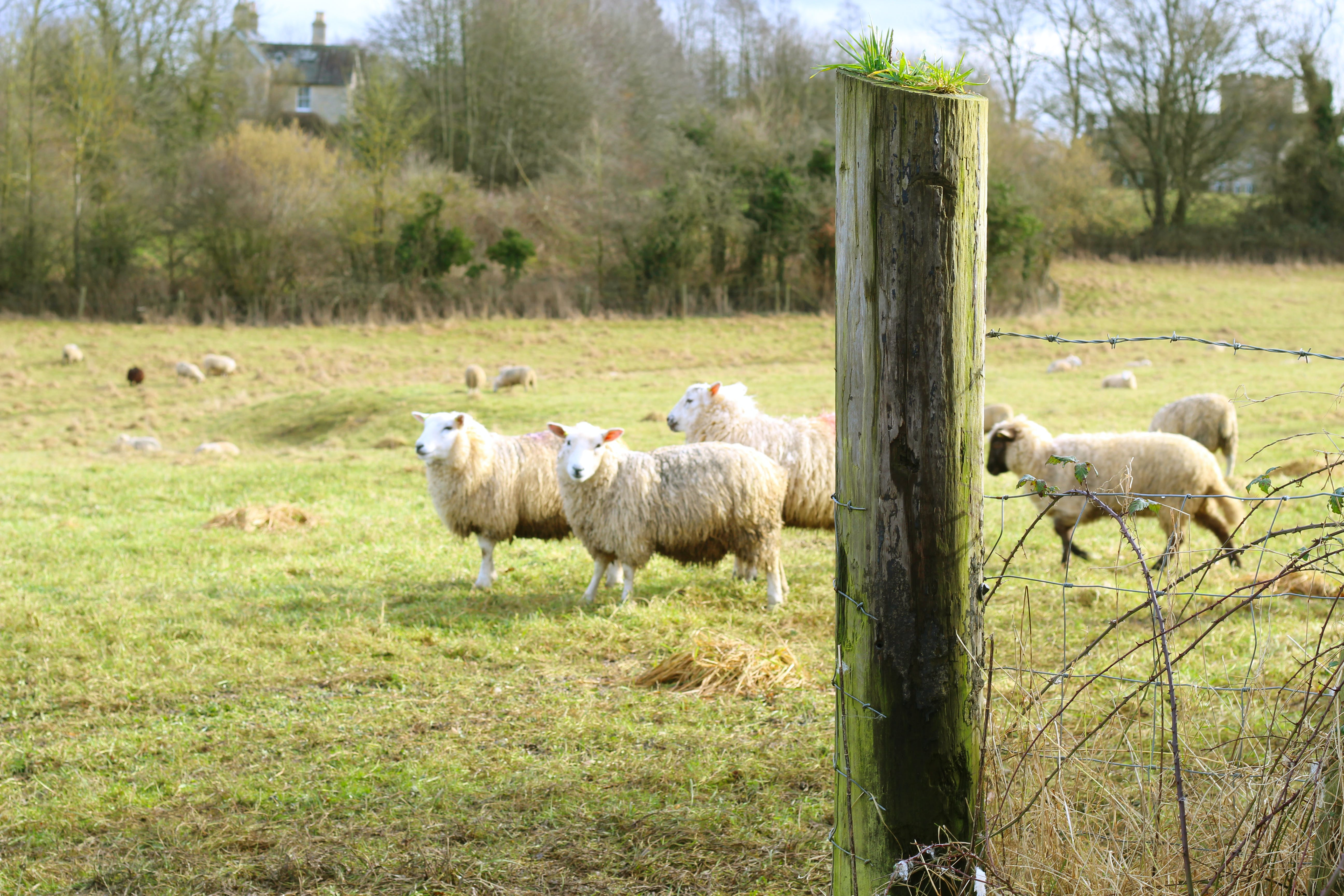 Free stock photo of cotswolds, country estate, field, sheep
