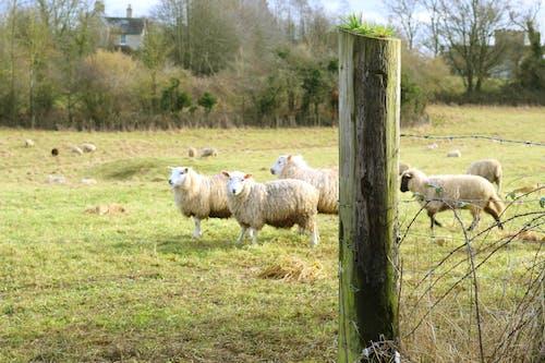Gratis stockfoto met cotswolds, landgoed, schapen, sportveld