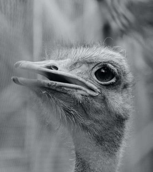 Grayscale Photo of an Ostrich