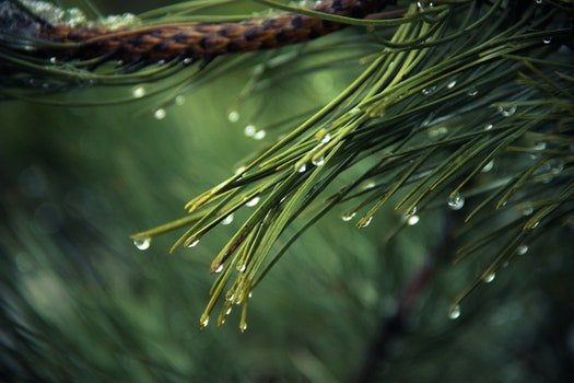 HD wallpaper of nature, raindrops, drops of water, pine