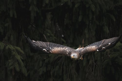 Brown and White Eagle Flying over Green Trees