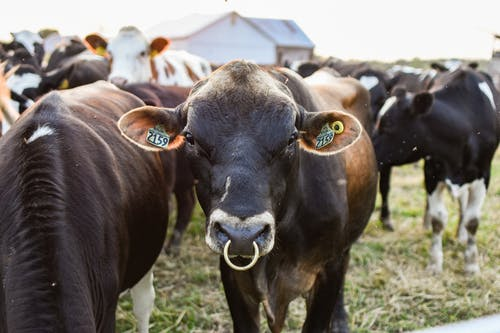 Close-Up Shot of Cows on a Grassy Field