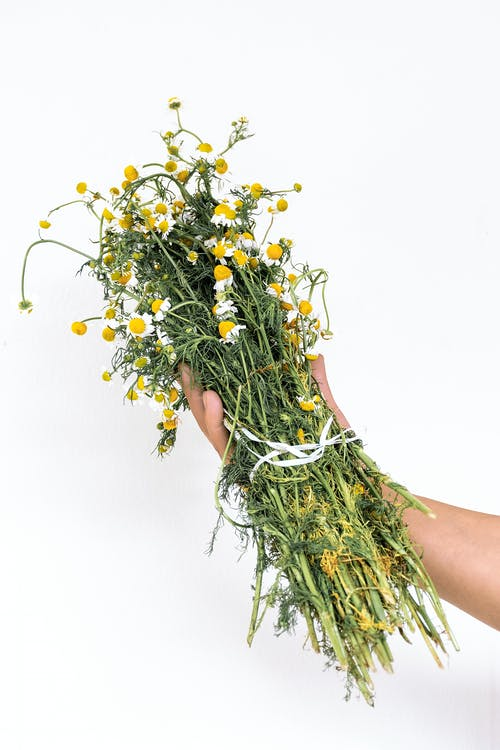 Close-Up Shot of a Person Holding a Bunch of Chamomile Flowers