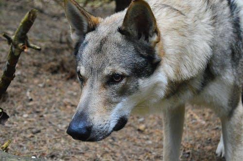 Darmowe zdjęcie z galerii z bubinek, szary wilk, wilk, wilk psa