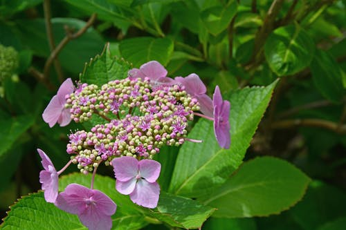 Imagine de stoc gratuită din boboci de flori, cu flori, floare, floare de grădină