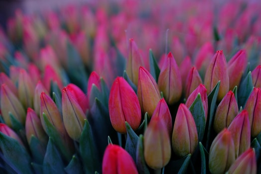 Bed of Pink Tulips Flower