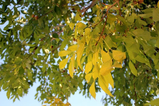 Free stock photo of leaves yellow tree