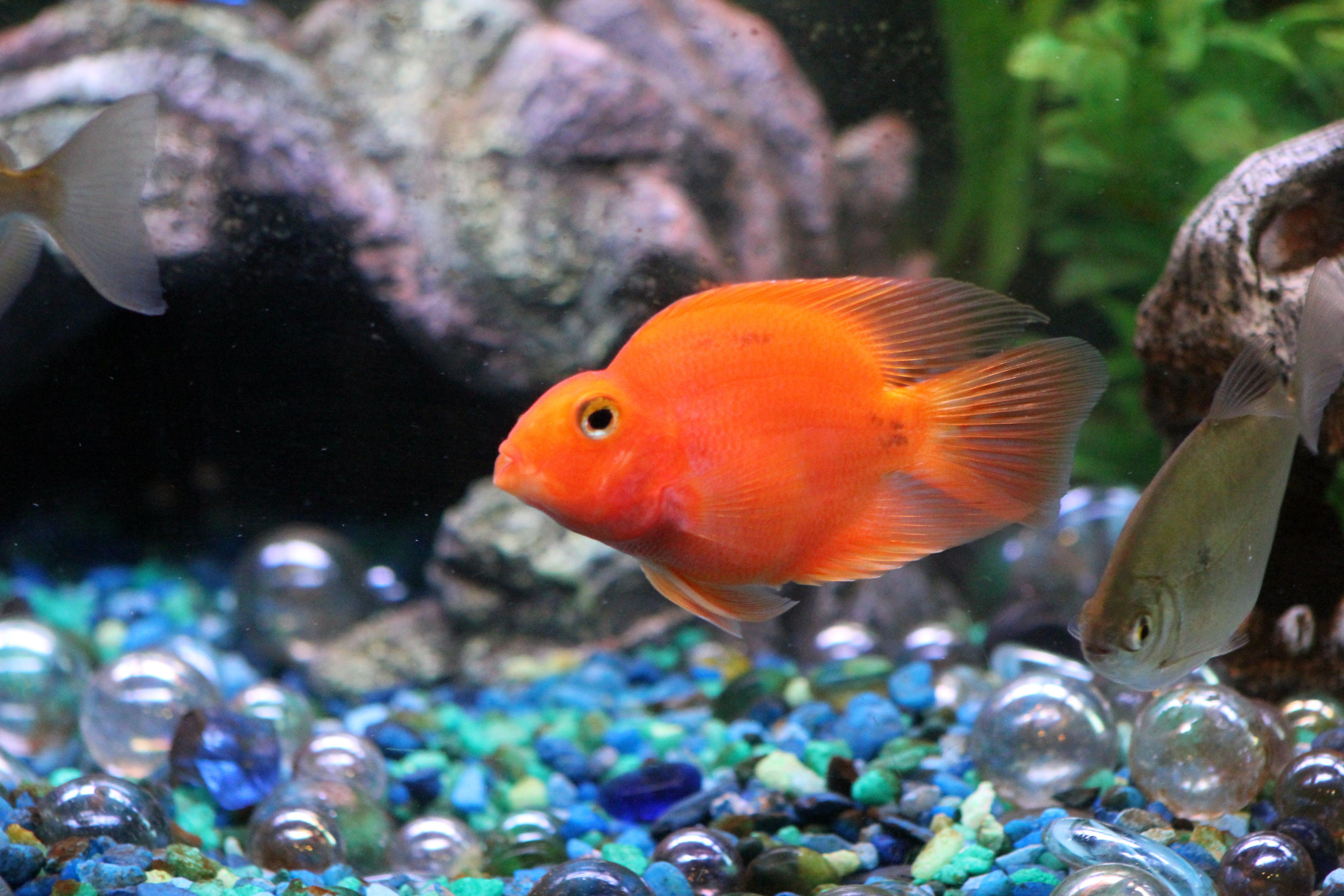 Free stock photo of orange fish aquarium