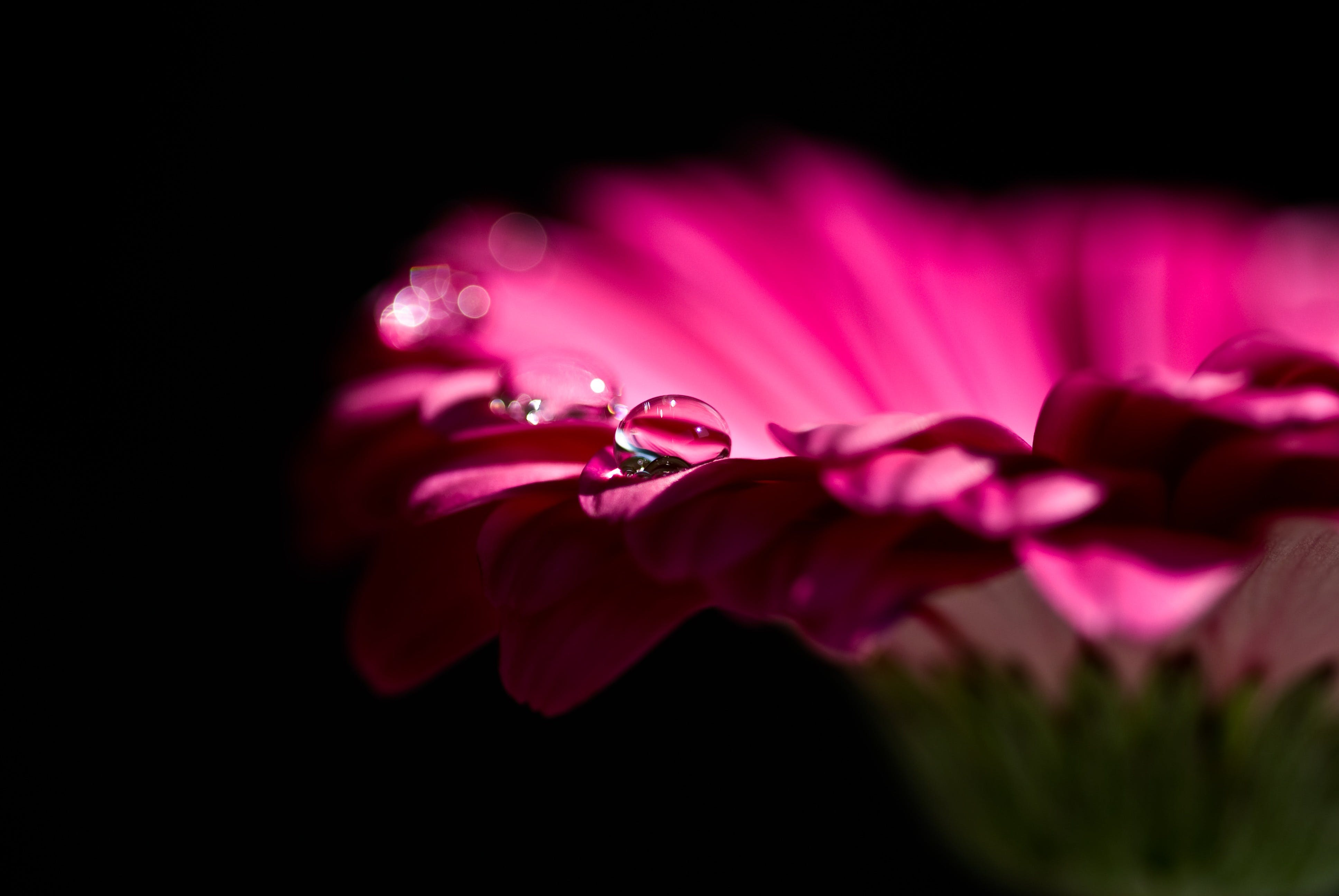 Immagine gratuita di bagnato, bocciolo, fiore, flora