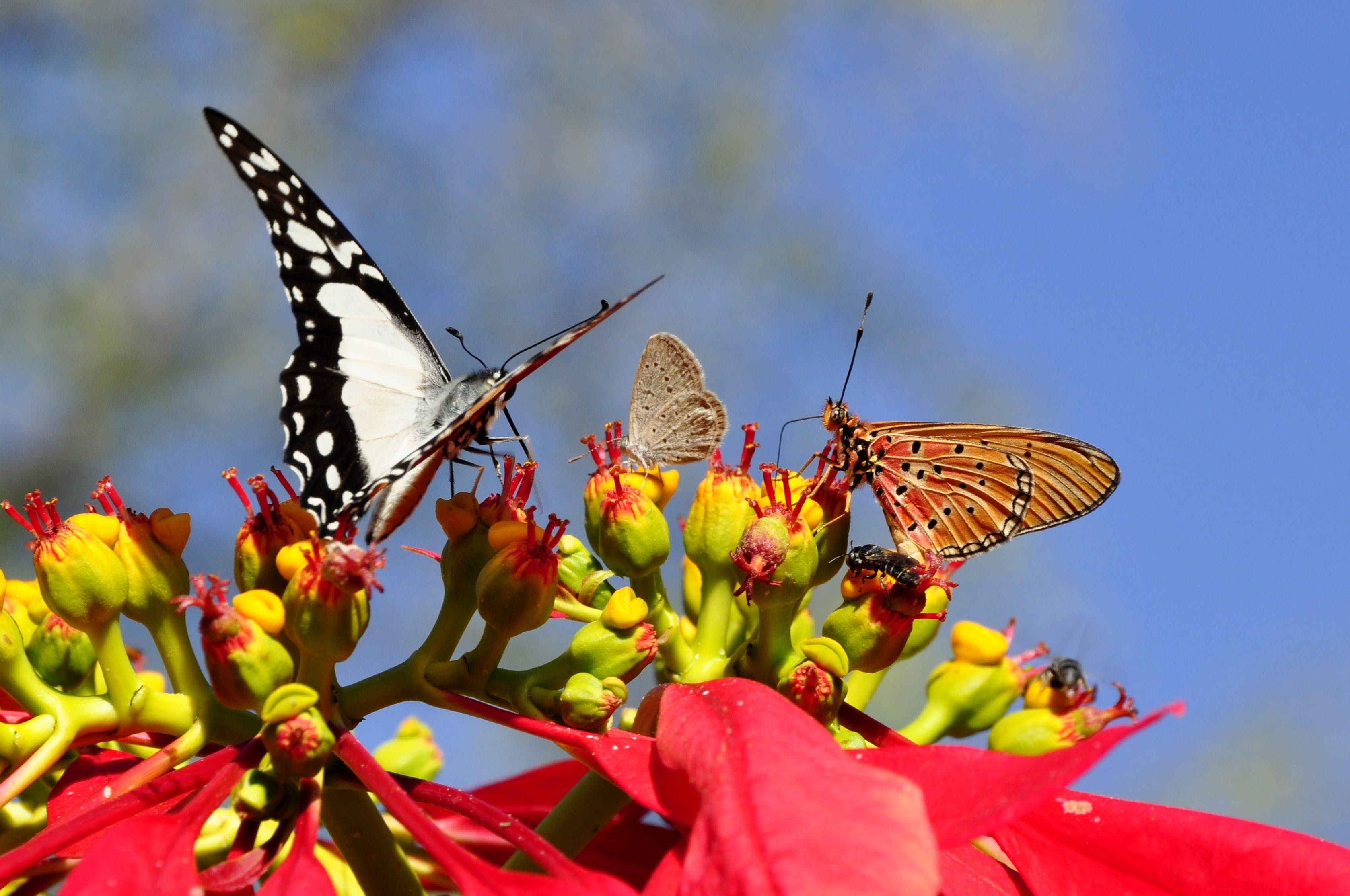 Free stock photo of adventsstern, animal world, butterflies, christmas star