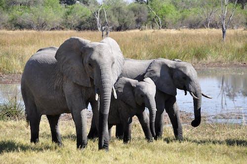 çim, fil dişleri, filler, hayvan fotoğrafçılığı içeren Ücretsiz stok fotoğraf