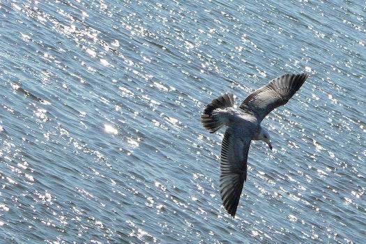 Free stock photo of bird, flying, water, ocean