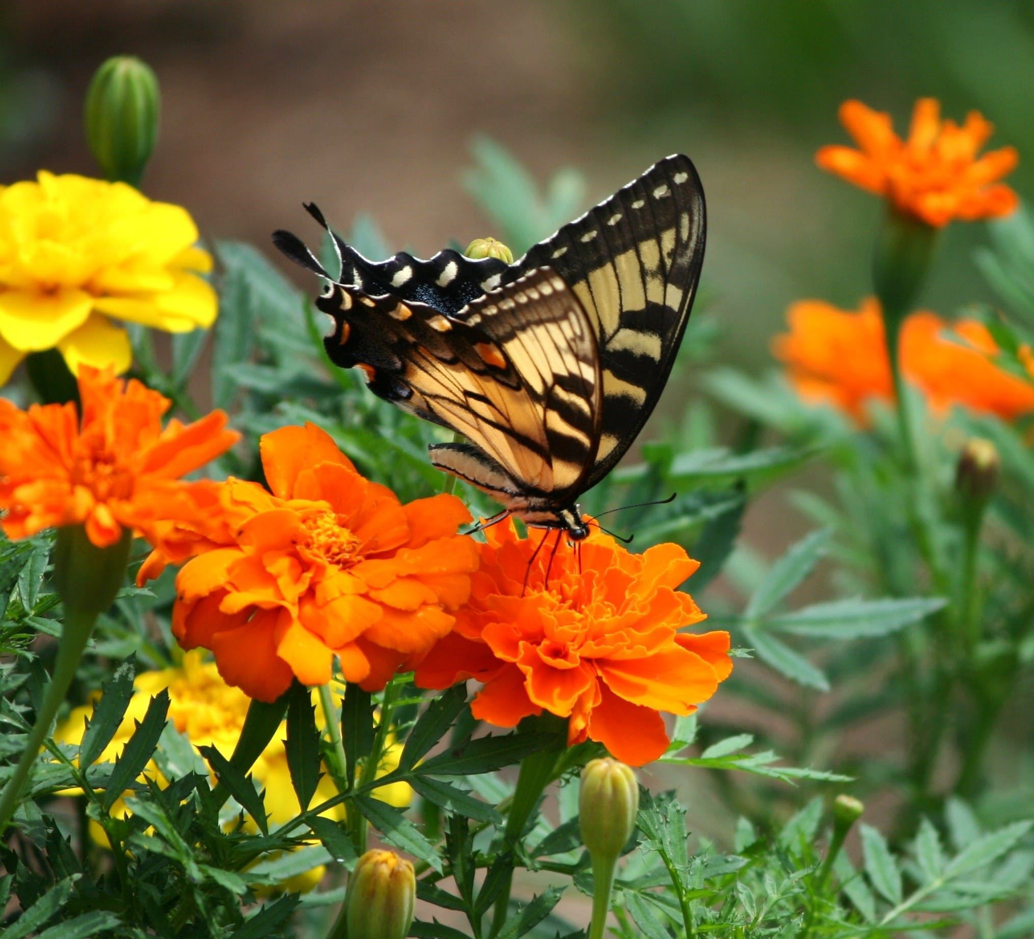 Black and Brown Butterfly on Top of Orange Flower