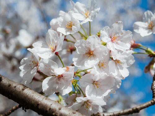 Free stock photo of blossom, cherry blossom, china
