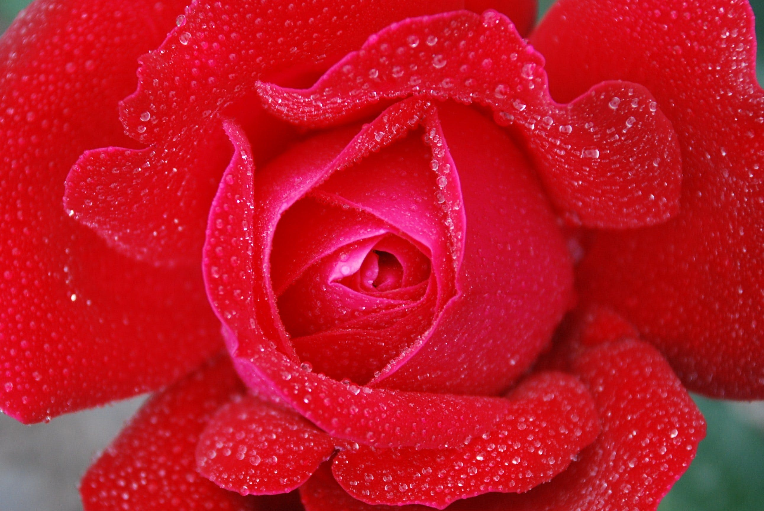 Red Rose With Clear Drop Waters